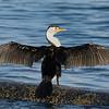 Australian Pied Cormorant (Phalacrocorax varius), The Broadwater, Gold Coast,