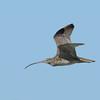 Eastern Curlew (Numenius madagascariensis)