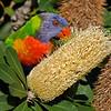 Rainbow Lorikeet, (Trichoglossus haematodus), Macintosh Island Park, Gold Coast, Queensland.