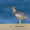 Beach Stone-curlew (Esacus magnirostris)