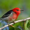 Male Scarlet Honeyeater