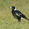 Australian Magpie, The Broadwater.