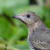 Female Australasian Figbird, The Spit, Gold Coast, Queensland.