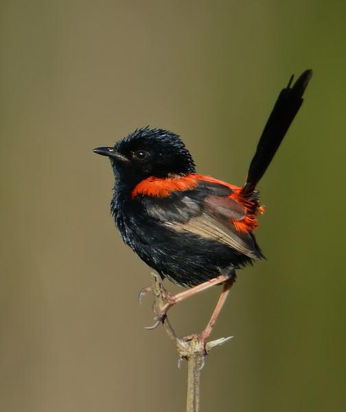 Red-backed Fairywren, Federation Walk Coastal Reserve