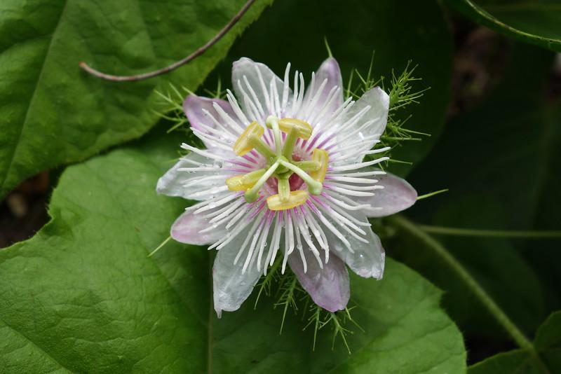 Stinking passion flower (Passiflora foetida)
