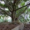 Fig Tree, Ficus spp., Federation Walk Coastal Reserve.