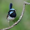 Superb Blue Fairy Wren