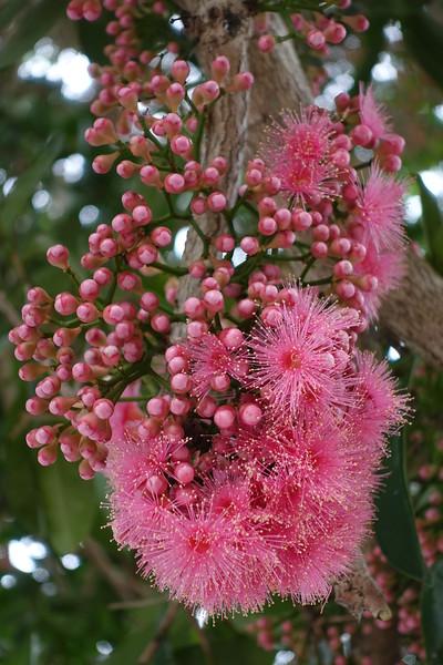 Malay rose apple (Syzygium malaccense)