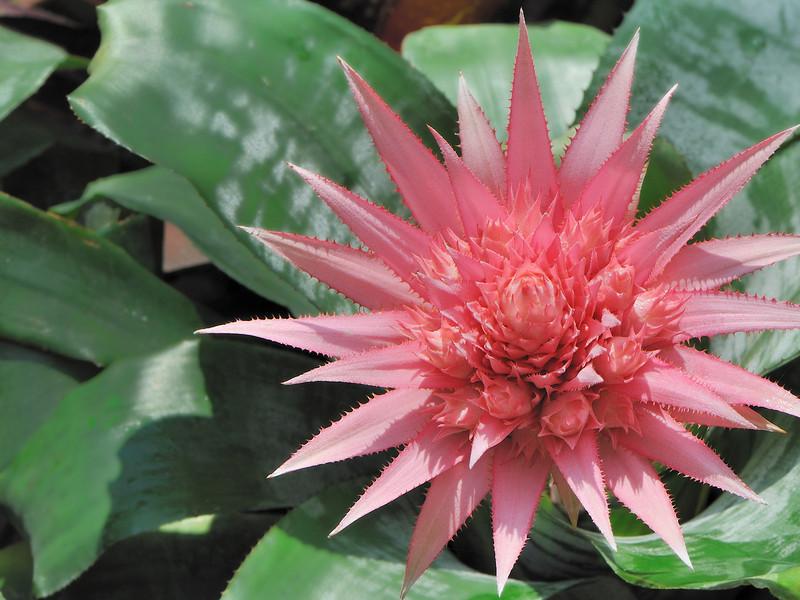 Aechmea fasciata<br /> NongNooch Tropical Garden, Thailand.