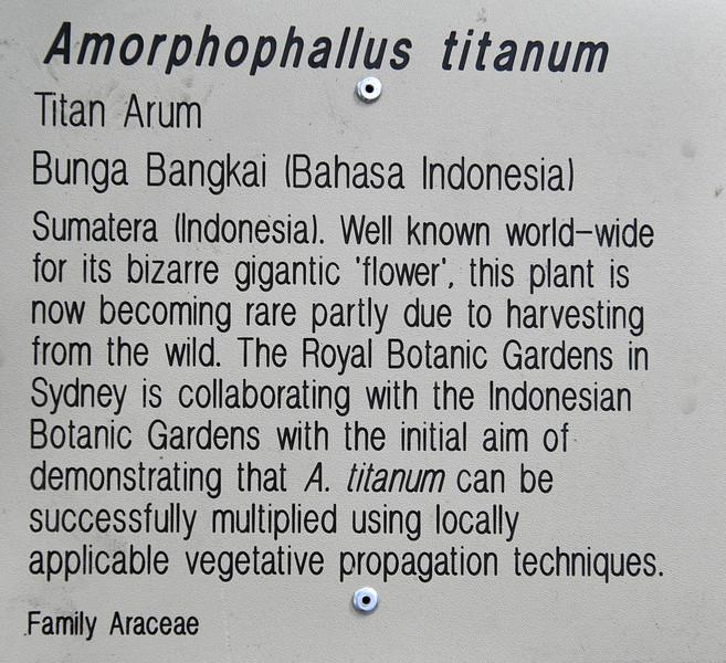 Amorphophallus titanum - titan arum.