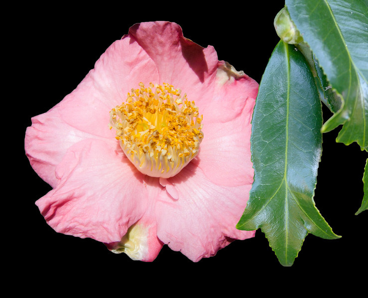 Camellia 'Kingyo-tsubaki'<br /> Fishtail camellia. Royal Botanic Gardens Sydney.