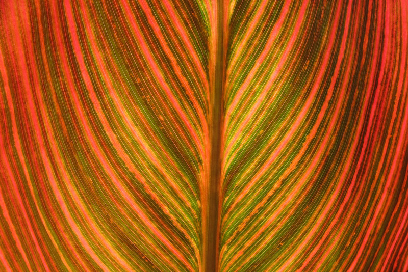 Canna 'Tropicana'<br /> Royal Botanic Gardens, Sydney.