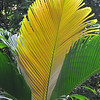 Areca Palm<br /> Singapore Botanic Gardens