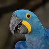 Hyacinth Macaw (Anodorhynchus hyacinthinus)<br /> Jurong Bird Park, Singapore.