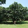 Evergreen Frangipani, Darwin Botanic Gardens.