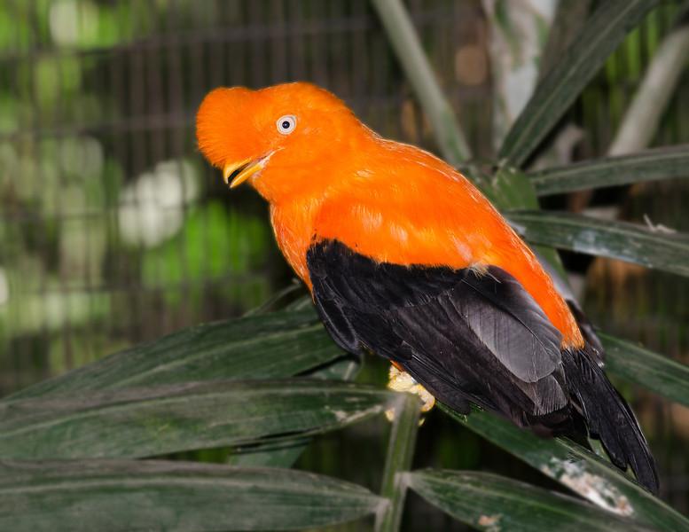 Andean Cock-of-the-rock, Jurong Bird Park, Singapore.