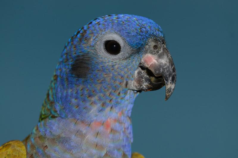 Blue-headed Parrot, Jurong Bird Park, Singapore.