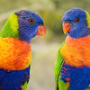 Rainbow lorikeets, Sunshine Coast, Queensland.