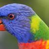 Rainbow lorikeet, Sunshine Coast, Queensland.