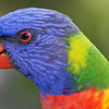 Rainbow lorikeet, Sunshine Coast, Queensland.