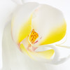 Phalaenopsis orchid, Gold Coast, Queensland.