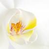 Phalaenopsis orchid, Gold Coast, Queensland.