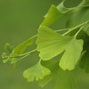 Ginkgo biloba known as the maidenhair tree.