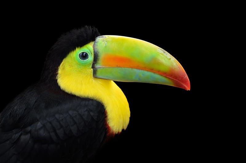 Rainbow-billed Toucan Costa Rica