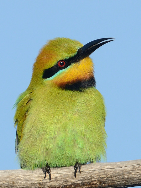 Male Rainbow Bee-eater, Federation Walk Nature Reserve, Gold Coast, Queensland.