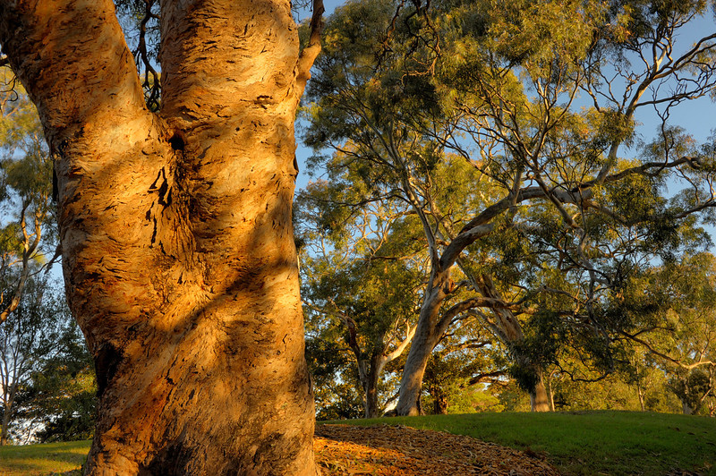 These trees are believed to be over 100years old. And to be offspring of the original vegetation of the site. Eucalyptus tereticornis.