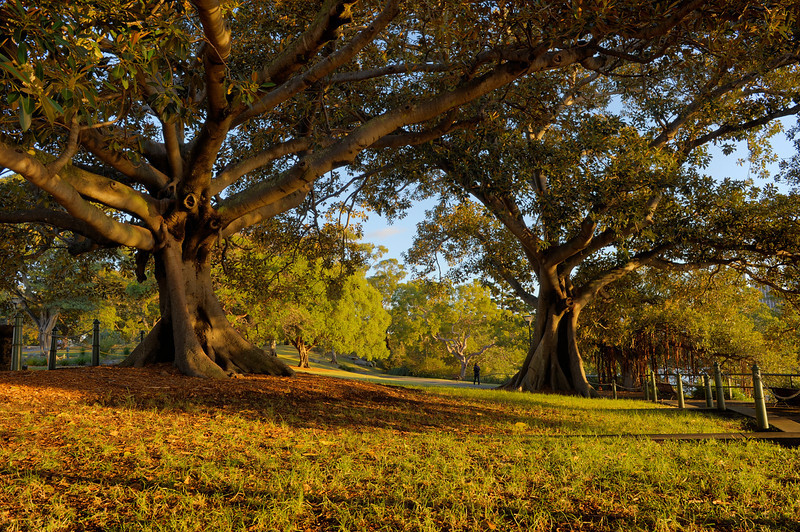 Sydney Mrs Macquaries Point, Sydney.<br /> Ficus macrophylla, commonly known as the Moreton Bay Fig