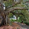 Royal Botanic Gardens Sydney<br /> Ficus macrophylla subsp. macrophylla
