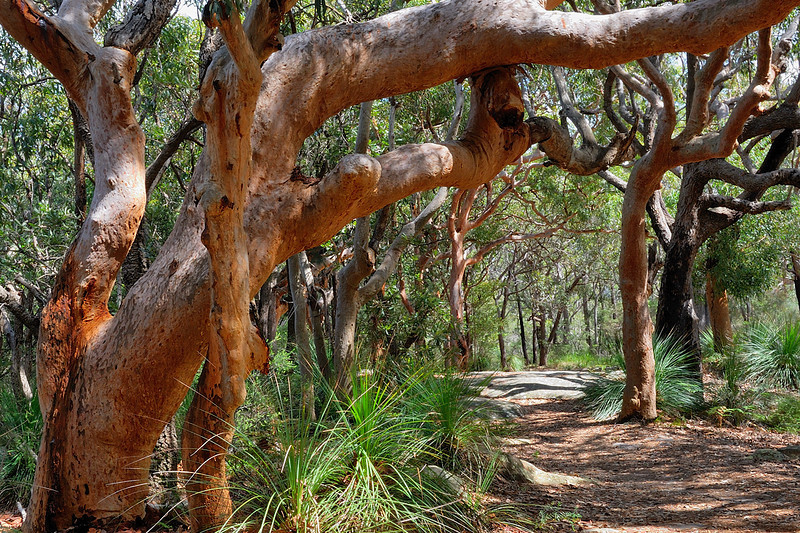 """Angophera costata - Sydney Red Gum<br />  Xanthorrhoea - The grass tree <br />  <a href=""""http://www.pearl-beach.com/"""">http://www.pearl-beach.com/</a>"""