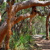 "Angophera costata - Sydney Red Gum<br />  Xanthorrhoea - The grass tree <br />  <a href=""http://www.pearl-beach.com/"">http://www.pearl-beach.com/</a>"