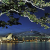 Sydney, Australia.<br /> Ficus tree.