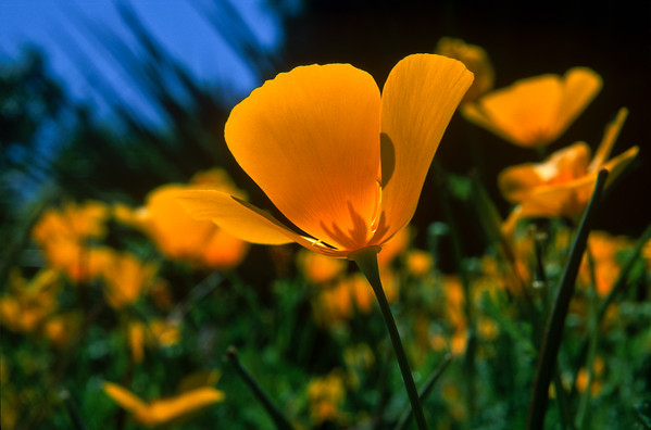 15007 Mexican Poppy