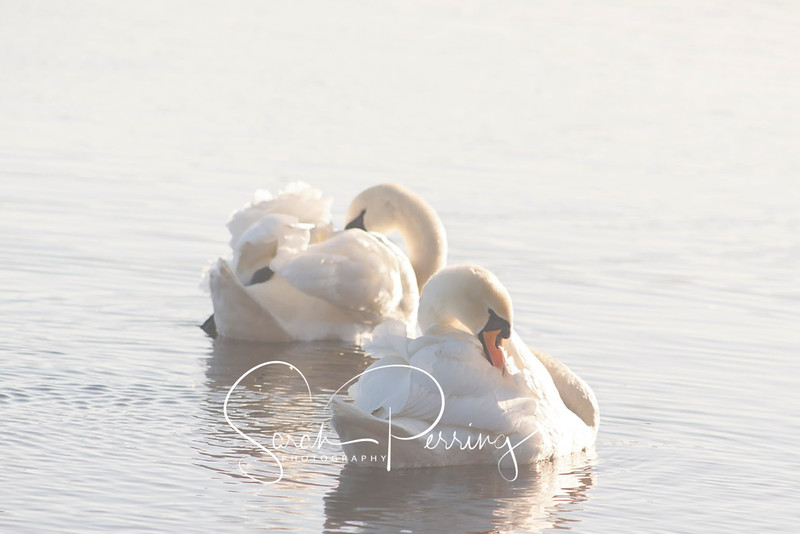 Two swans relaxing