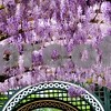 Wisteria somewhere in Cental Europe