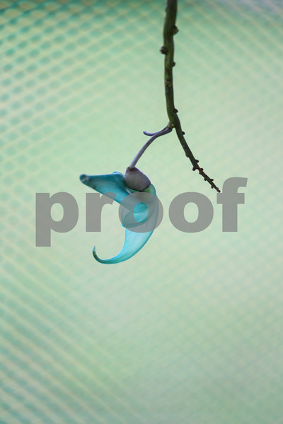 Blue Flower, Manggapuri, Don Salvador, Philippines