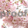 Cherry Blossoms. Washington DC