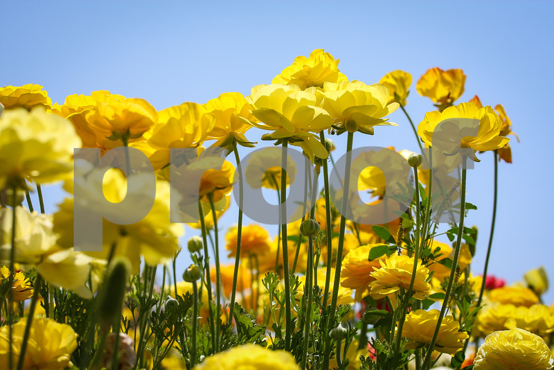 Ranunculus, Flower Fields, California