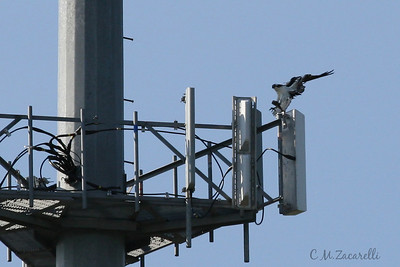 osprey nest, osprey flying, cell tower, nest, raptor
