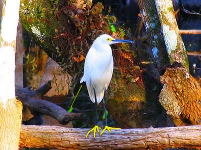 egrett, white,shore birds, water fowl, florida everglades