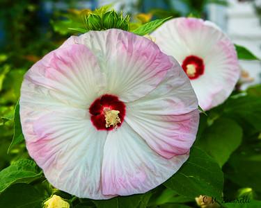 Perennial Hibiscus II