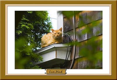 Lion Head, cat, orange, kitty, wild cat, ferral cat.