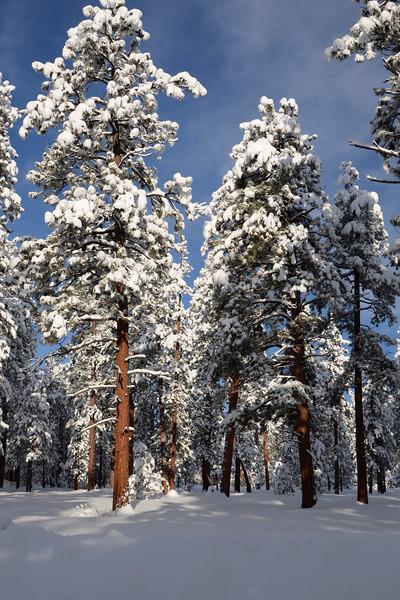 WinterPonderosas_KateThomasKeown_DSC9511
