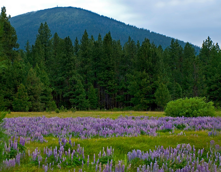05_BBR-View-Black Butte+lupine-KateThomasKeown_DSC2277