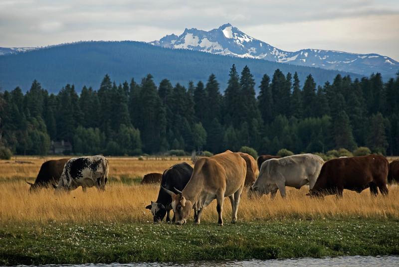 Rodeo Cows_DSC9323