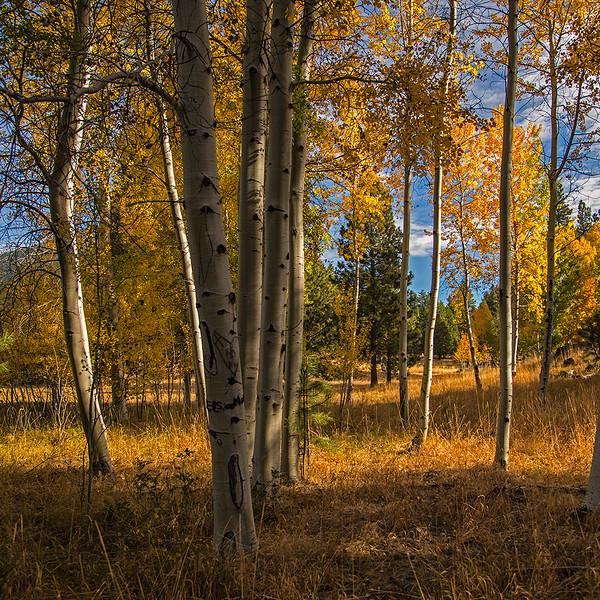 Fall-Aspens_KateThomasKeown_DSC3256