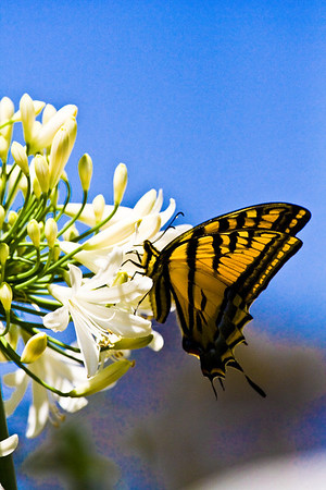 Monarch in Mexico
